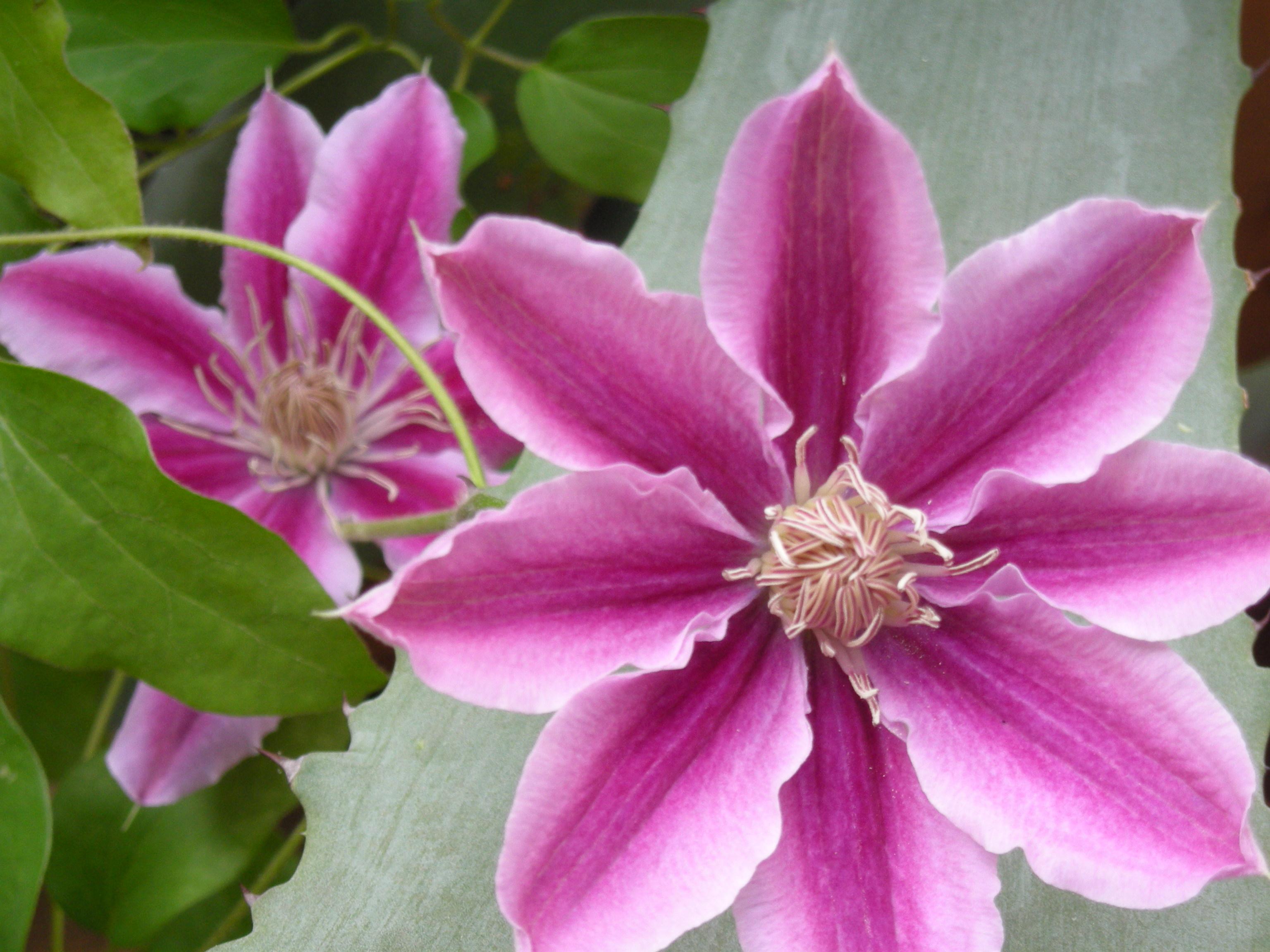 un fiore per anna marchesini