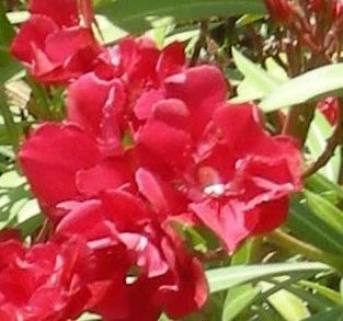 un fiore per andrea camilleri
