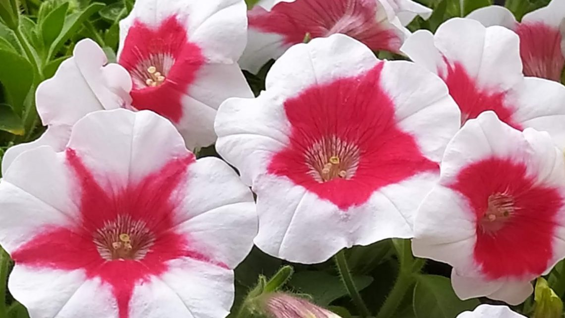 fiori per raffaella carrà